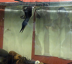Murre 2 - Thick-billed Murre in Classroom aquarium chasing sunfish before I released it. (petertrull) Tags: