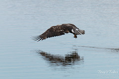 Juvenile Bald Eagle fishing sequence - 8 of 13