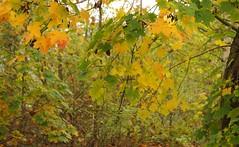 Herbstliche Ahorn-Zweige (Acer platanoides); Lingen, Dieksee (2) (Chironius) Tags: autumn trees tree germany deutschland see rboles herbst herfst boom arbres acer rbol alemania otoo albero autunno bume allemagne arbre rvore baum hst trd germania emsland lingen jesie  aa niedersachsen  ahorn  dieksee  sapindaceae rosids   sapindales efterret gauerbach hippocastanoideae seifenbaumgewchse seifenbaumartige rosskastaniengewchse laxten gauerbachsee malvids