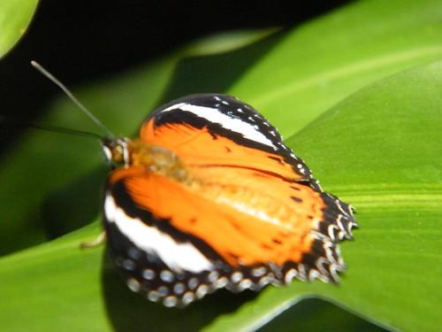 Kuranda Butterfly Sanctuary 004