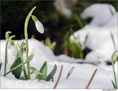 Der Winter hat uns wieder (to.wi) Tags: schnee winter snow flower ice blossom blume eis schneeglckchen blt towi