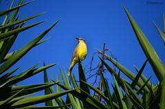 Bentivi (Vin Brito) Tags: sky bird little passarinho pássaro céu bentivi