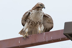 Young Red Tail hangs on in the wind