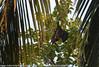 Pteropus giganteus - Chauve souris géante d'Inde - Fruit bat.jpg