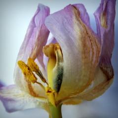 1120831 (roberke) Tags: flower nature fleur closeup petals flor natuur tulip bloem tulp
