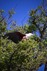 African fish eagle (jessica.brossier) Tags: eagle botswana takeoff chobe choberiver