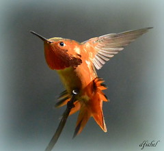 Rufous Hummingbird (Selasphorus rufus)b (socal.is.me) Tags: hummingbird rufoushummingbird