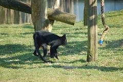 Kuifmangabey (Jan van den Berg) Tags: safaripark beeksebergen