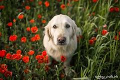 IMG_0981 (giraffes_fly) Tags: dog goldenretriever eyes harmony poppies touching dogphotography dogportrait poppyfield deepeyes poppydog doginpoppies inpoppies
