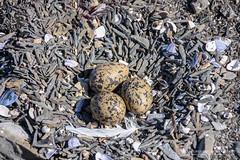 The Nest of the Oystercatchers (Normann Photography) Tags: bird nature rocks nest egg shore eggs oystercatcher harsh