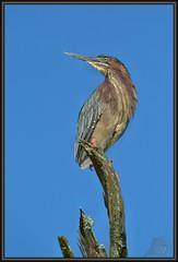Showmanship (WanaM3) Tags: heron nature nikon texas wildlife bayou pasadena canoeing paddling greenie greenheron clearlakecity d7100 horsepenbayou wanam3 nikond7100