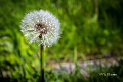 VJS-6339 (Vic Shears) Tags: closeup vectis isleofwight stmaryschurch isleofwhite iow brading iw