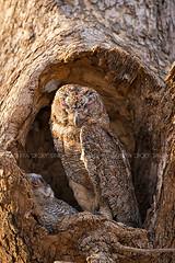 ADS_0000103285 (dickysingh) Tags: wildlife tiger tigers ranthambore indianwildlife ranthambhorenationalpark