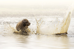 Enchanted puddles (alessandrafavetto) Tags: dog pet pets color dogs water outdoors dogphotography petphotography spanishwaterdog pdae perrodeagua petphotographer dogphotographer perrodeaguaespaol