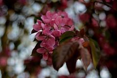 Blossom: Hertford (Happydays 65) Tags: pink spring nikon may hertford 50mmlens nikond7100 happydays65