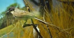 Ave Tijereta (siinestesiia) Tags: bird museum ave museo pajaro savana tyrannus tijereta
