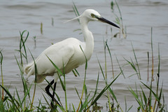 Weerawila Lake - Little Egret