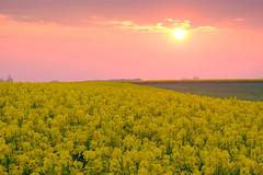 Sunset fields (Hkan Dahlstrm) Tags: sunset sky field yellow photography se skne sweden uncropped f71 raps rapeseed trelleborg 2016 skneln xe2 160sek xc50230mmf4567ois trelleborgv 2819052016204650