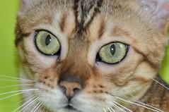 Eyes (Beata*) Tags: eye animal cat eyes bengali