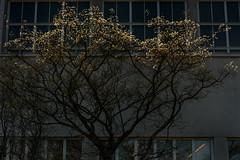 Lit Top (pni) Tags: light tree suomi finland leaf helsinki helsingfors skrubu pni pekkanikrus