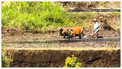 Work to feed people...Bali....Look at my album on Bali (geolis06) Tags: geolis06 bali 2015 asie asia indonsie indonsia munduk mundukricefields riziresmunduk olympusomdem5 olympusm75300mmf4867ii baliricefield rizierebali riceoffieldbali landscape paysage balilandscape paysagebali balinesepeasant