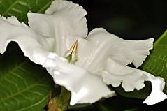 easter lily vine (Beaumontia grandiflora) (DOLCEVITALUX) Tags: plants lily beaumontiagrandiflora aster vineflowerflowersflorafaunaphilippinesmedicinal