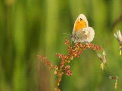 Kleines Wiesenvgelchen [ Small heath ] [ Kamgrsfjril ] ( Coenonympha pamphilus ) (ritschif) Tags: butterfly natur insekten schmetterling coenonymphapamphilus smallheath kleineswiesenvgelchen tagfalter dagfjrilar kamgrsfjril