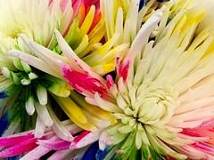 Necessities (Renee Rendler-Kaplan) Tags: flowers june rainbow colorful mums indoors inside bouquet blooms wbez consumerist iphone necessities chicagoist 2016 chicagoreader iphoneography reneerendlerkaplan