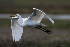 Great Egret (rtyphotography) Tags: ibsp