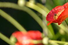 LaSoltera2 (CoraznInfinito) Tags: abejas austin bees poppies beekeeping apicultura