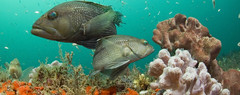 seabass (NOAA's National Ocean Service) Tags: ocean fish coral 30 days reef seabass corals