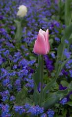 IMG_6092-Tulip (Reietto) Tags: bear sky panorama rose clouds swisse nuvole cloudy panoramas baren bern svizzera rosengarten stich orsi orso berna swizerland graben nubi barengraben tamronsp1750f28 giardinodellerose canoneos7d cristiancarbini16 bern2016