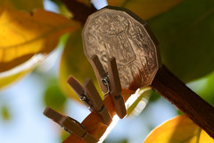 Pegging Out (Ptolemy the Cat) Tags: autumn light leaves miniature coin foliage tiny pegs clothespegs nikond600 macromondays tamronf2890mmmacrolens australian50centcoin smallerthanacoin