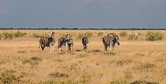 Zebra at Etosha (Randy K2) Tags: park national zebra namibia etosha