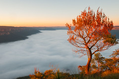 Flame Rise (benpearse) Tags: sunrise sublime point ben pearse commercial photographer landscape blue mountains newsouthwales australia flaming tree fog jamison valley