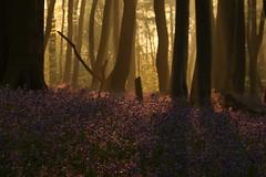 Bluebell Wood (Derbyshire Harrier) Tags: shadow mist bluebells sunrise dawn spring derbyshire peakdistrict ngc beechwood 2016 hyacinthoidesnonscripta peakpark