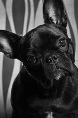 45 graus (F. Portella) Tags: brazil blackandwhite dog brasil friend petra amiga bulldog cachorro frenchie paulo so pretoebranco felipe companheira buldogue portella buldoguefrancs
