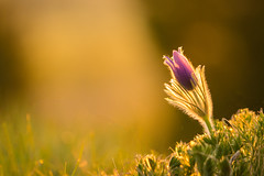 Reaching for the first morning light (helena678) Tags: morning light sun flower macro fly spring purple rays pasqueflower pulsatillavulgaris