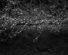 A dead branch rests over the burn (Stanley Burn Woods) (Jonathan Carr) Tags: bw white abstract black tree water monochrome rural landscape dead stream decay burn fallen 4x5 abstraction leves northeast largeformat 5x4