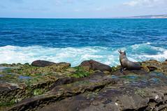 Chill (when I'm on vacation) Tags: ocean sea nature animals la san rocks waves sandiego lion diego lajolla shore sealion jolla