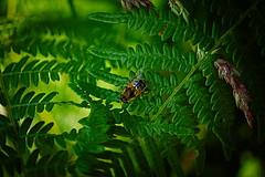 Mademoiselle l' Abeille (vieubab) Tags: abeille insecte fougre verdure vert macro bokeh nature unlimitedphotos saveearth sonyflickraward sony grosplan flouartistique fort
