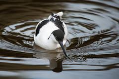 SK7_7280 (glidergoth) Tags: birds avocet britishbirds pensthorpe