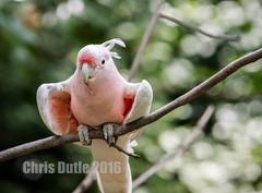 DSC04691 (montusurf) Tags: cincinnati zoo pink perch major mitchells cockatoo wings