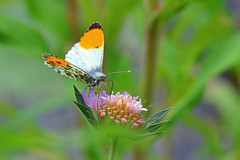Male Orange Tip on Scabious (AndyorDij) Tags: uk england plants gardens butterfly insect spring unitedkingdom bokeh insects rutland scabious scabiosa 2016 empingham anthochariscardamines orangetipbutterfly maleorangetip