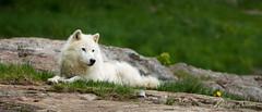 loup artique (Romain Beauvois) Tags: animaux parcomega ete