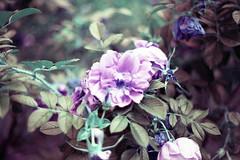 film (La fille renne) Tags: roses flower film analog 35mm lomography bokeh turquoise canonae1program 50mmf18 lomochrome lafillerenne lomochrometurquoise lomochrometurquoisexr100400