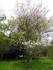 Amelanchier lamarckii F. G. Schroed. 1968 (ROSACEAE) (helicongus) Tags: spain rosaceae amelanchier amelanchierlamarckii jardínbotánicodeiturraran