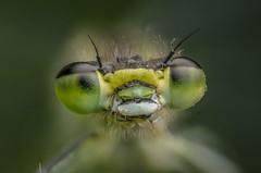 Azure damselfly (stephensmith54831) Tags: macro damselfly azuredamselfly coenagrionpuella raynox focusstack tokina100mm nikond7000