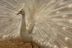 cotswold wildlife park 153 (Walwyn) Tags: peacock brandonmarsh leucristic