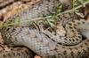 grass snake (chrisb.foto) Tags: wild macro nature grass animal germany nikon hessen reptile snake wildlife natur ring makro tier schlange reptil grasssnake ringsnake ringelnatter ldk lahndillkreis lahndill